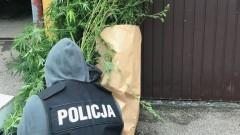 Gm. Sztum. Plantacja marihuany w ogródku! Krajanka tytoniowa i susz konopny były gotowe do sprzedaży... - 22.09.2017