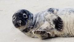 Na Mierzei Wiślanej strażnicy graniczni uratowali młodą fokę.