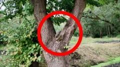 Kwidzyn. Niewybuch na drzewie.