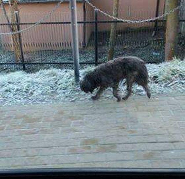 Sztum : Poszukiwany właściciel błąkającego się psa - 10.01.2018