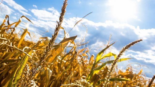 Gmina Dzierzgoń : Rolnicy mogą składać wnioski o szacowanie szkód powstałych w uprawach rolnych w wyniku suszy