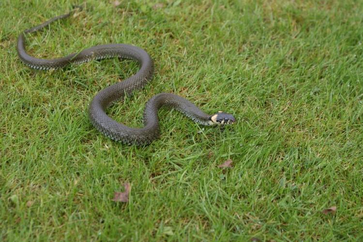 Wąż w ogrodzie – raport sztumskich służb mundurowych.