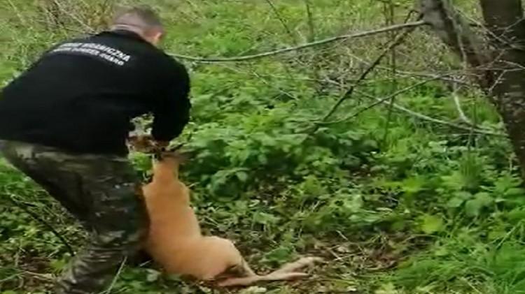 Uratowali zwierzę zaplątane w drut kolczasty.