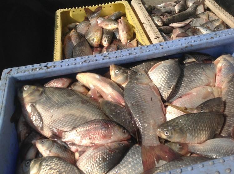 Koniecwałd: Dziesiątki kilogramów martwych ryb w Jeziorze Kaniewo – 7.04.2016