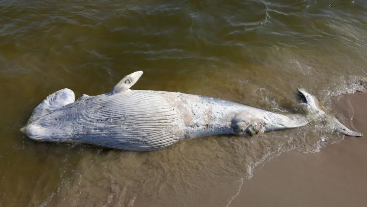 Martwy wieloryb na Mierzei Wiślanej