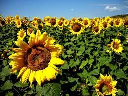 """""""Słoneczne kwiaty"""""""